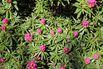 <c:out value='Rhododendron 'Graziella' - Rhododendron ponticum 'Graziella''/>