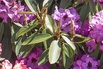 Rhododendron 'Mercator' - Rhododendron Hybride 'Mercator'