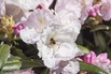 Rhododendron 'Mist Maiden' - Rhododendron yakushimanum 'Mist Maiden'