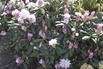 Rhododendron 'Schneewolke' - Rhododendron yakushimanum 'Schneewolke'