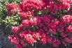 <c:out value='Rhododendron 'Vorwerk Abendsonne' - Rhododendron Hybride 'Vorwerk Abendsonne''/>