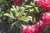 Rhododendron 'Vorwerk Abendsonne' - Rhododendron Hybride 'Vorwerk Abendsonne'