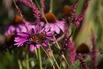 <c:out value='Rotblühender Scheinsonnenhut 'Magnus' - Echinacea purpurea 'Magnus''/>