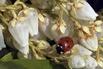 Schattenglöckchen 'Stöckmann' - Pieris japonica 'Stöckmann'