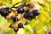 Schwarze Johannisbeere 'Ben Alder' (S) - Ribes nigrum 'Ben Alder' (S)
