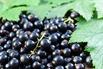 Schwarze Johannisbeere 'Öjebyn' - Ribes nigrum 'Öjebyn'