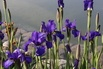 <c:out value='Bartlose Schwertlilie 'Silver Edge' - Iris sibirica 'Silver Edge''/>