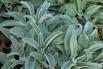 Silberblatt-Ehrenpreis - Veronica spicata subsp. incana