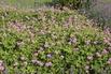 Storchschnabel 'Pink Penny' ® - Geranium wallichianum 'Pink Penny' ®