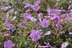 <c:out value='Storchschnabel 'Rainbow' - Geranium wallichianum 'Rainbow''/>