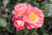 Strauchrose 'Herzogin Friederike' ® - Rosa 'Herzogin Friederike' ®