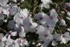 Teppich-Flammenblume 'Amazing Grace' - Phlox subulata 'Amazing Grace'
