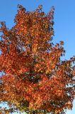 Amberbaum 'Oktoberglut'