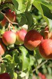 Apfel 'Rewena'  ®