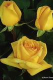 Edelrose 'Golden Tower' ®