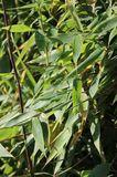 Bambus 'Smaragd' ®
