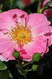 Beetrose 'Bienenweide® Rosa'