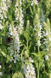 Blüten-Salbei 'Compact White'