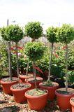 Buchsbaum Stämmchen