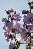 Busch-Malve 'Lilac Lady'