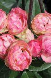 Edelrose 'Lovely Rokoko' ®