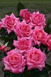 Edelrose 'Wedding Bells' ®