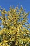 Fächerblattbaum / Ginkgobaum