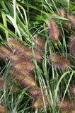 Federborstengras 'Herbstzauber'