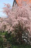 Frühlingstamariske / Kleinblütige Tamariske