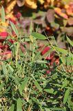 Gartenbambus 'Leasch' ® (S)