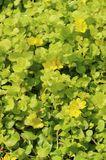 Gelblaubiges Pfennigkraut 'Aurea'
