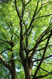 Geweihbaum