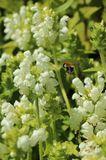 Großblütige Braunelle 'Alba'