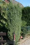Irischer Säulenwacholder 'Hibernica'