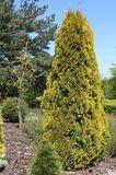 Lebensbaum 'Golden Smaragd' ®