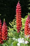 Lupine 'Towering Inferno'