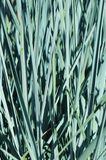 Magellan-Gras