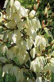 Palmlilie 'Bright Edge'