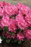 Rhododendron 'Caruso' ®
