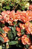 Rhododendron 'Orange Flirt'