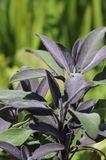 Salbei 'Purple Beauty'