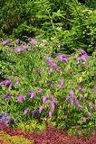 Sommerflieder / Schmetterlingsstrauch 'Camberwell Beauty' / 'Camkeep'