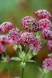 Sterndolde 'Moulin Rouge' ®