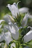 Waldglockenblume 'Alba'