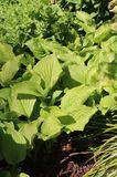 Weißblühende-Lilien-Funkie 'Royal Standard'