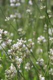 Weißer Lavendel 'Alba'