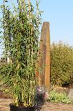 Winterharter Gartenbambus 'Brillant' (S)
