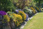 Alles over Schildzaad Alyssum saxatile Alyssum montanum