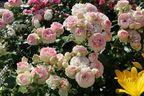 strauchrose 39 eden rose 85 39 rosa 39 eden rose 85 39 baumschule horstmann. Black Bedroom Furniture Sets. Home Design Ideas