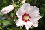 Garteneibisch 'Mathilda'